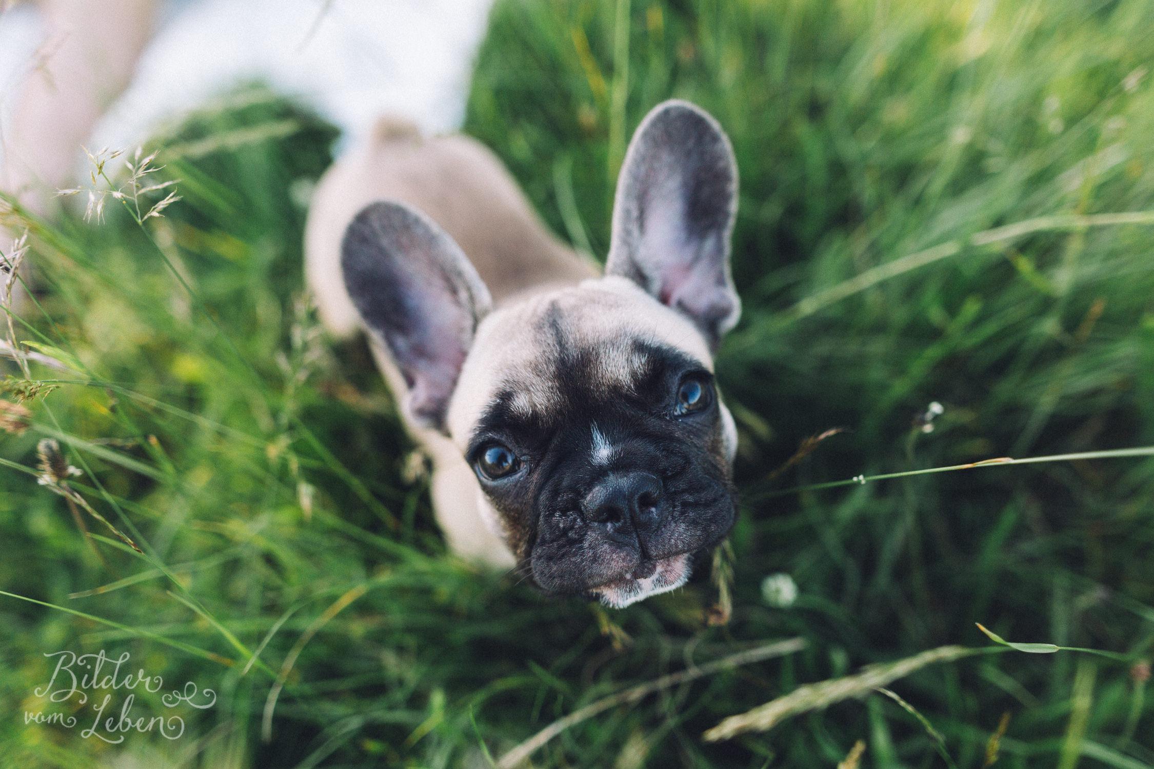 Franzoesische-Bulldogge-Portraits-BildervomLeben-2016-7397