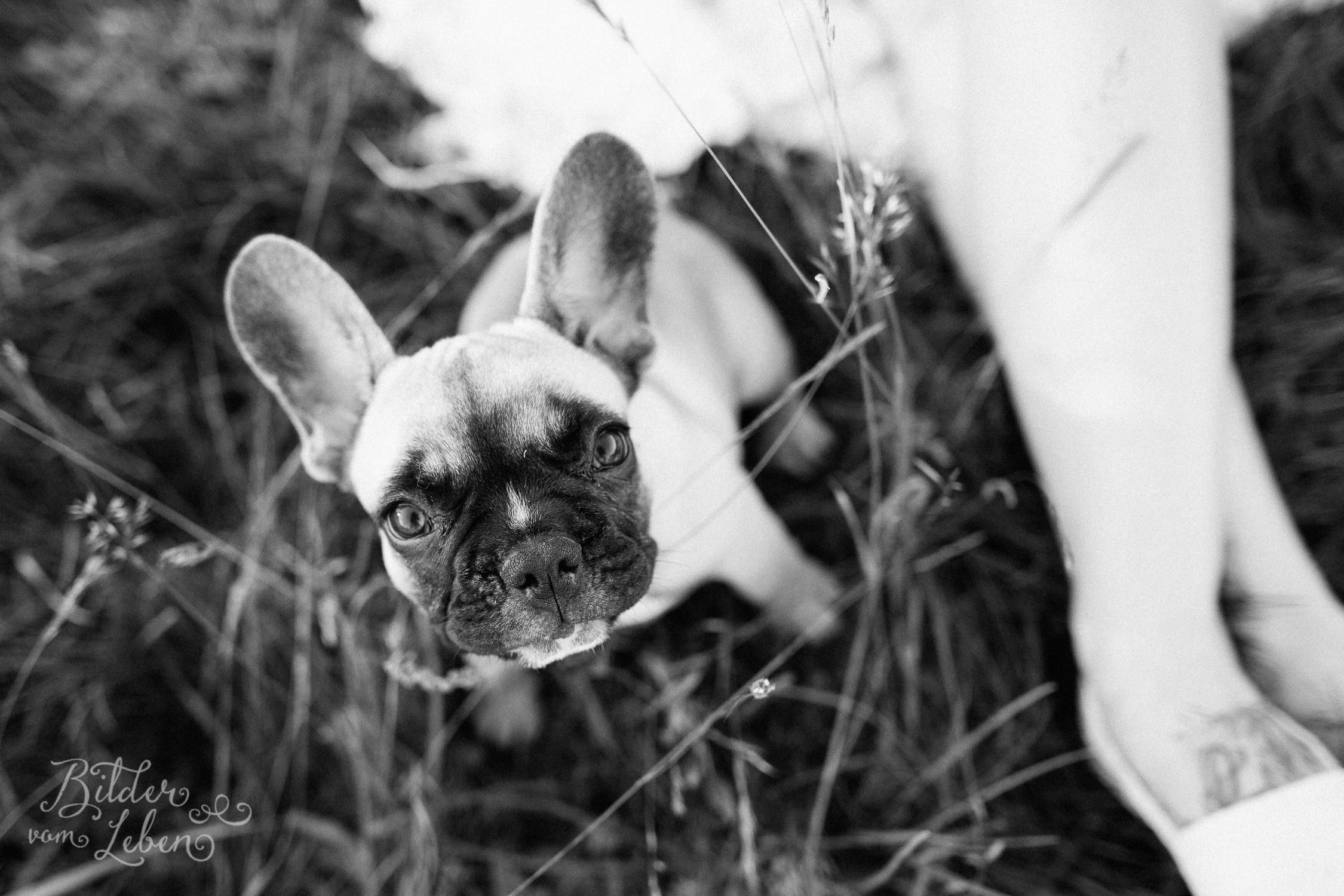 Franzoesische-Bulldogge-Portraits-BildervomLeben-2016-7409