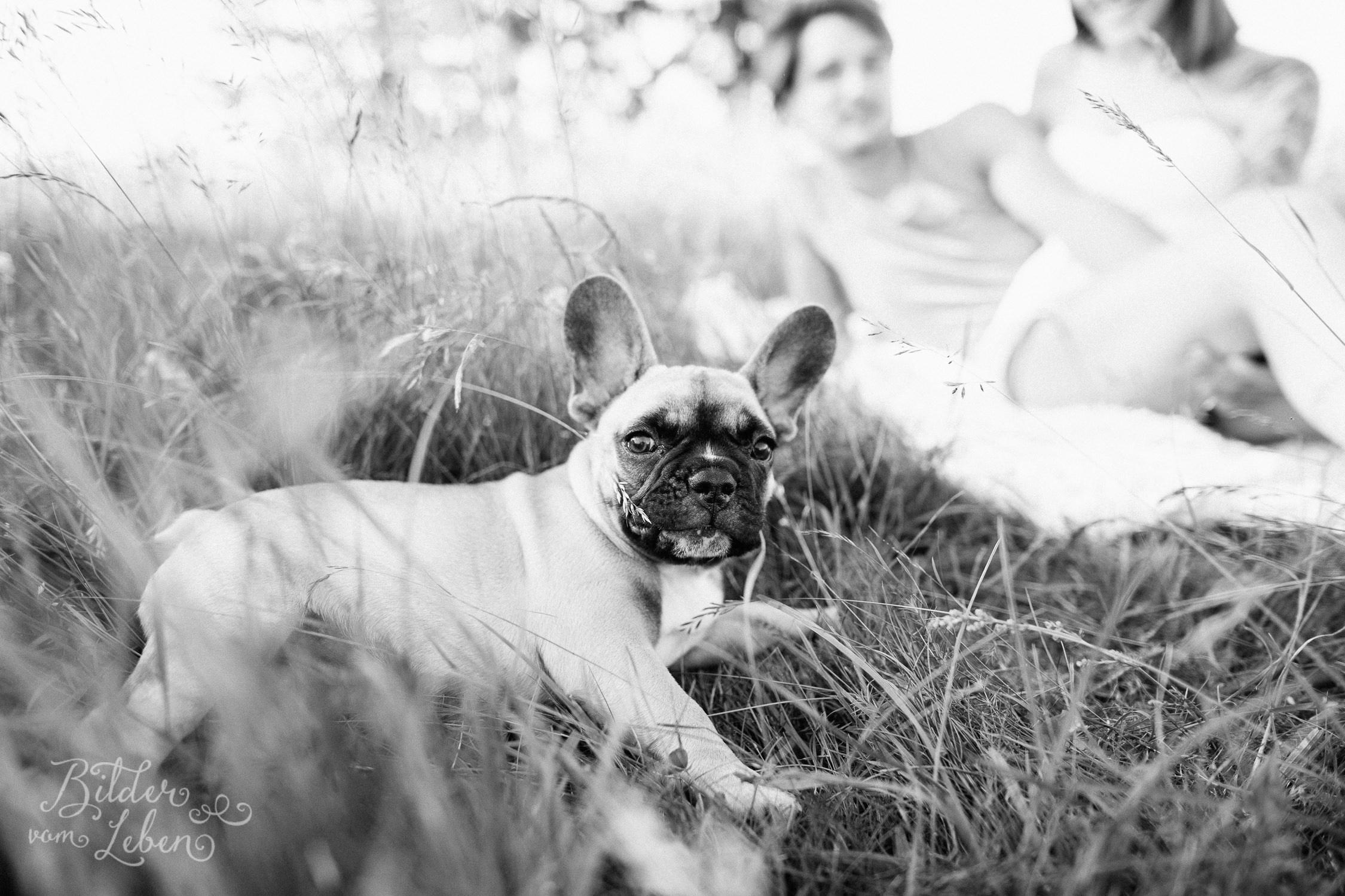 Franzoesische-Bulldogge-Portraits-BildervomLeben-2016-7430