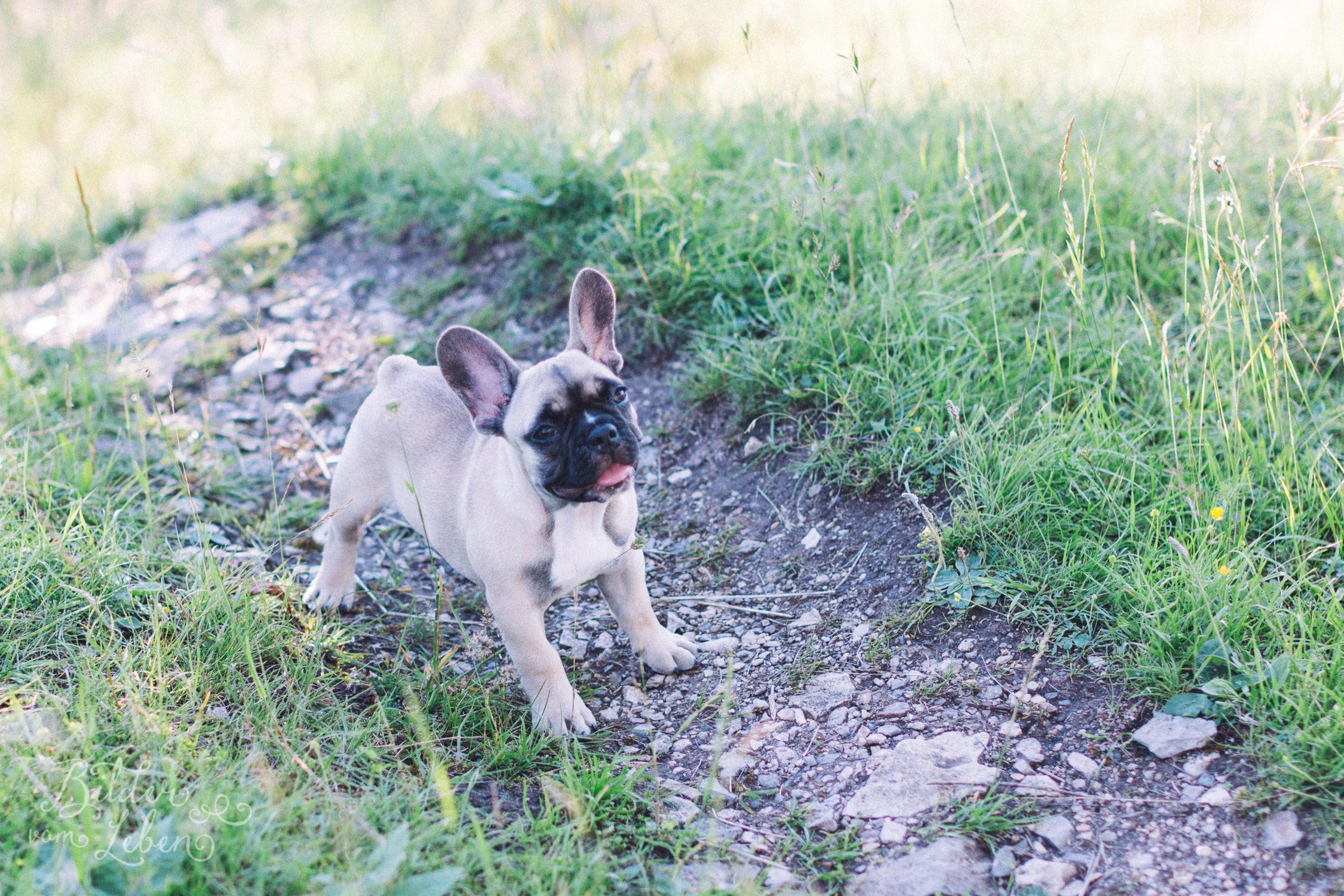 Franzoesische-Bulldogge-Portraits-BildervomLeben-2016-7958